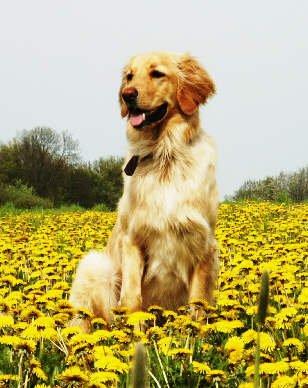 Dog_Hovavart